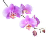Beautiful lilac orchid is isolated on white Royalty Free Stock Photo