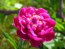 Beautiful lilac peony. Fantastic purple blooming peony flower with a bee on its petals Stock Image