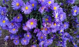 Beautiful lilac perennial aster blooming in the garden royalty free stock photography