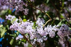 Beautiful lilac on a Sunny spring day royalty free stock photo