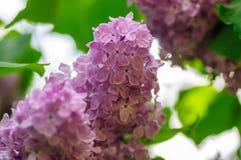 Beautiful lilac syringa vulgaris flowers in shadow light.  royalty free stock photos