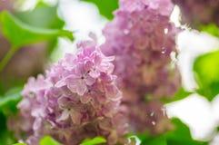 Beautiful lilac syringa vulgaris flowers in shadow light.  stock images