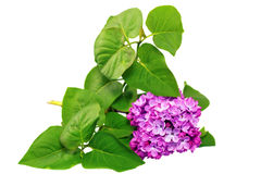 Beautiful   Lilac on table. Isolated over white . Stock Photos