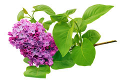 Beautiful   Lilac on table. Isolated over white . Royalty Free Stock Images