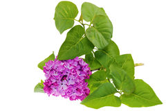 Beautiful   Lilac on table. Isolated over white . Stock Images