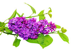 Beautiful   Lilac on table. Isolated over white . Stock Photography