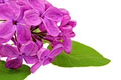 Beautiful   Lilac on table. Isolated over white . Royalty Free Stock Image