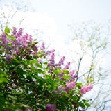 Beautiful Lilac Tree with Flowers over Bright Sky Royalty Free Stock Images