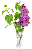 Beautiful   Lilac in the Vase. Isolated over white . Royalty Free Stock Photo