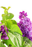 Beautiful   Lilac in the Vase. Isolated over white . Stock Image