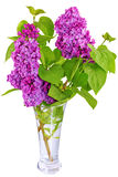 Beautiful   Lilac in the Vase. Isolated over white . Royalty Free Stock Photos
