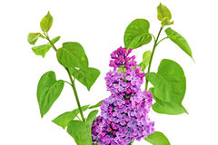 Beautiful   Lilac in the Vase. Isolated over white . Royalty Free Stock Images