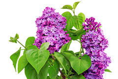 Beautiful   Lilac in the Vase. Isolated over white . Royalty Free Stock Image