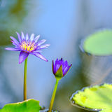 Beautiful lilac waterlily or lotus flower in blue water Royalty Free Stock Photo