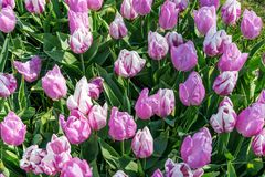 Beautiful lilac and white multi-colored tulips stock photos