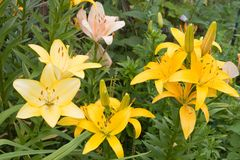 Beautiful Lilies Stock Image