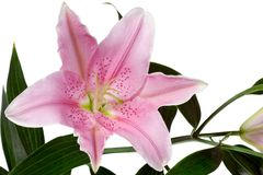 Beautiful lilies Royalty Free Stock Image