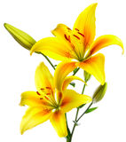 Beautiful lilies. On a white background Royalty Free Stock Photo