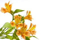 Beautiful lilies. Isolated on the white background Royalty Free Stock Photography