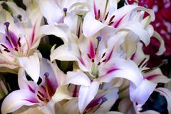 Beautiful lilies in the garden royalty free stock photos