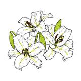 Beautiful lilies. Vector illustration. Delicate flowers. Vintage print on postcard, poster or clothes. Royalty Free Stock Photos