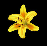 Beautiful lilly Stock Images