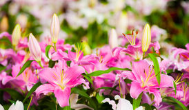 Beautiful lilly flower. Beautiful lilly flower in garden Royalty Free Stock Image
