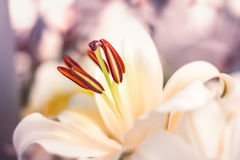 Beautiful Lilly flower scene nature background Royalty Free Stock Image