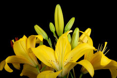 Beautiful lily Royalty Free Stock Image