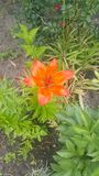 Orange lilies in the summer garden, closeup royalty free stock images