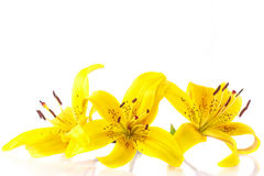 Beautiful lily Royalty Free Stock Images