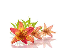Beautiful lily Stock Image