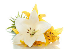 Beautiful lily Stock Photo