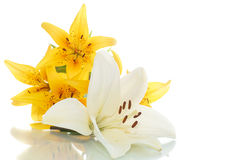 Beautiful lily Stock Images