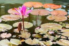 Beautiful lily with a bud in the water Royalty Free Stock Photo