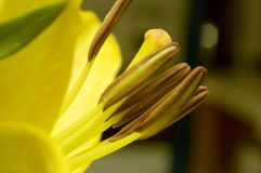 Beautiful lily close-up Stock Images