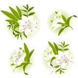 Beautiful Lily design element Stock Image
