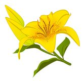 Beautiful Lily design element Royalty Free Stock Photos