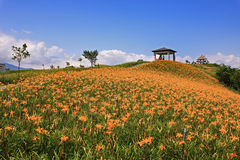 Beautiful Lily field with blue sky in the backgrou Royalty Free Stock Photos