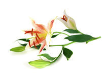 Beautiful Lily flower Royalty Free Stock Photography