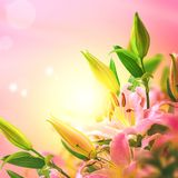 Beautiful lily flower blooming bouquet and sun square background. Greeting card template. Toned image. Summer nature royalty free stock images