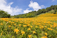Beautiful lily flower fields in Hualien, Taiwan Royalty Free Stock Photos