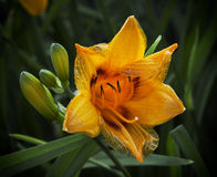 Beautiful lily flower Stock Photography