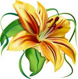 Beautiful  lily. Beautiful flower  green leaves yellow lily   flavor  vector  illustration  character  pleasant emotions  elegant Royalty Free Stock Photography