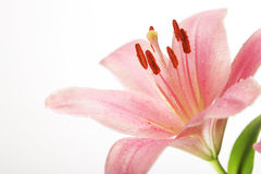 Beautiful Lily flower over white Stock Image