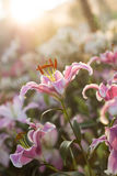 Beautiful  lily flower in rain and sunset Royalty Free Stock Photos