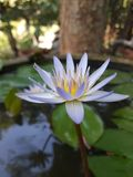 Blue Water lily in small pond. Side view of beautiful puffy blue water lily flower in small pond, Sri lanka royalty free stock photos