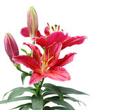 Beautiful Lily flowers. Royalty Free Stock Photography