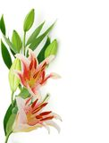 Beautiful Lily flowers Royalty Free Stock Image