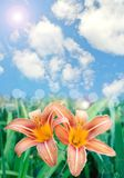 Beautiful lily flowers background Royalty Free Stock Photo